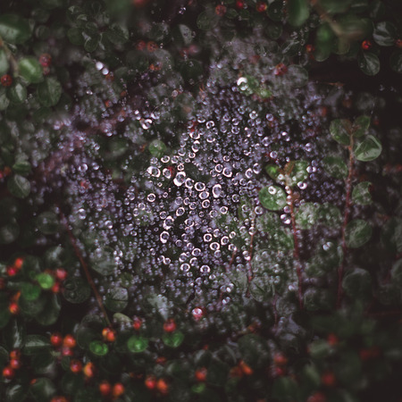 Natural background with spider web in water drops after rain and green leaves with red berries Imagens