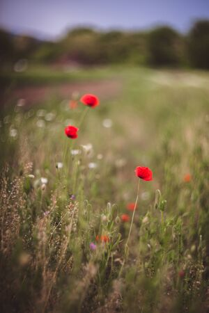 Close up of beautiful, red, blooming poppies in a natural field