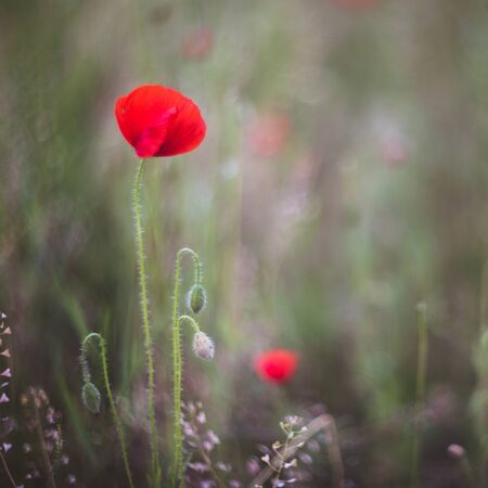 Close up of beautiful, red, blooming poppies in a natural field. Shot with vintage Helios lens 40 2