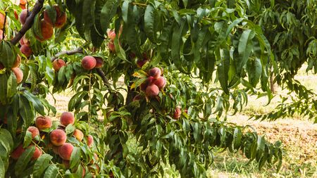 Sweet organic peaches on tree in big garden. Banner. Summer. Autumn Banque d'images - 129472704