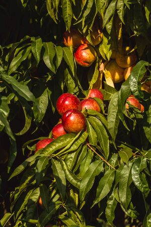 Sweet organic nectarines on tree in big garden. Banner. Summer. Autumn Banque d'images - 129472702