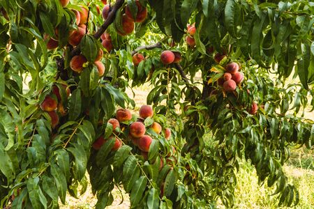 Sweet organic peaches on tree in big garden. Banner. Summer. Autumn Banque d'images - 129472701