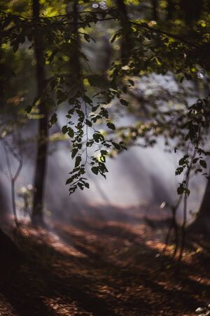 Sun beams pour through trees in foggy forest Banque d'images - 132185910
