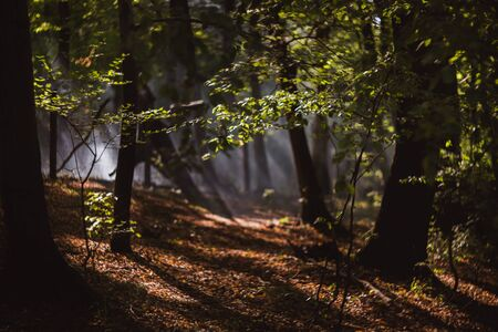 Sun beams pour through trees in foggy forest Banque d'images - 132185912