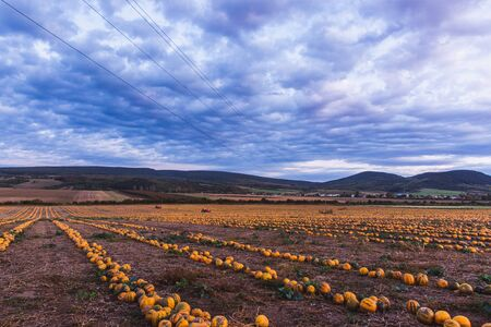 Pumpkin field at sunset. Beautiful landscape in Hungary. Autumn 免版税图像