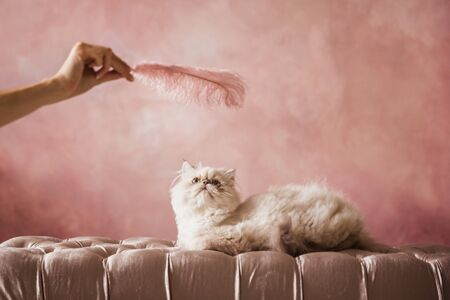 Silver Persian kitten 5 months old plays with a pink feather on a pink cream chair on a pink background Stock Photo