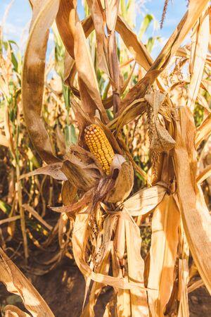 Close up of a ripe corn cob on a stalk Banque d'images - 132186056