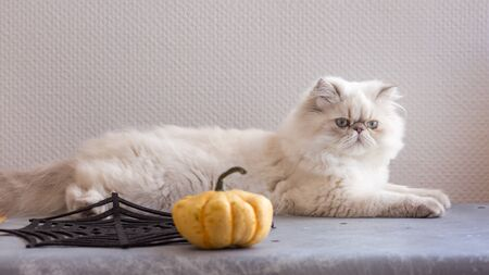 Silver Persian kitten 5-month-old with pumpkin on a grey chair on white background Reklamní fotografie - 131515990
