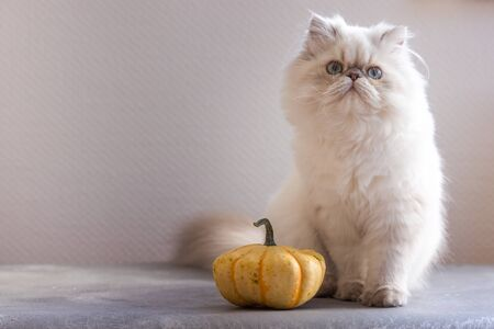 Silver Persian kitten 5-month-old with pumpkin on a grey chair on white background Banque d'images - 132186118