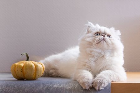 Silver Persian kitten 5-month-old with pumpkin on a grey chair on white background Banque d'images - 132186123