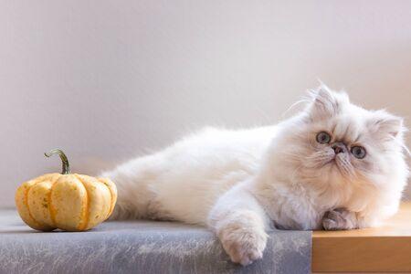 Silbernes persisches Kätzchen 5 Monate alt mit Kürbis auf einem grauen Stuhl auf weißem Hintergrund
