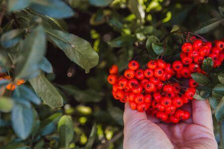 pyracantha, bright beautiful decorative red and orange berries on bushes Banque d'images - 132186133