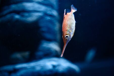 Beautiful Red White Gold Fish in fresh water glass tank on blue background