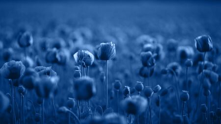Field of Poppy Flowers on sunset in early Summer toned blue color.