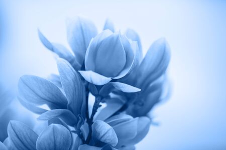 Bloomy magnolia tree with big flowers toned blue color.
