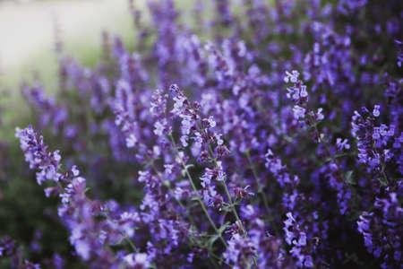 Natural flower background. Close -up purple lavender flowers blooming in garden. Horizontal arrangement Imagens
