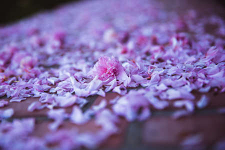 Spring fallen petals flowers off cherry tree, pink background