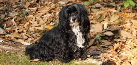 A young Havanese