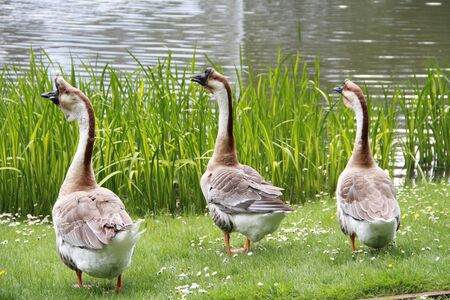 Chinese mute geese at the lake Stockfoto