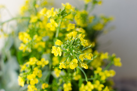 indian mustard: Brassica juncea, edible flower