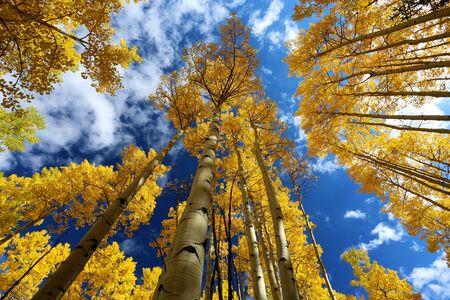 aspen leaf: Gold yellow aspen forest in autumn