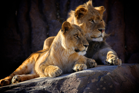 lions rock: Two Lions sitting on rock