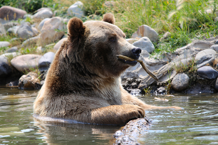 Grizzly Bear playing in water