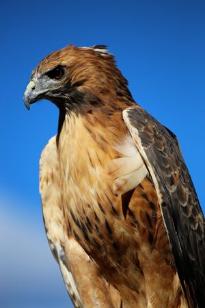 Red Tail Hawk sitting against blue sky Zdjęcie Seryjne