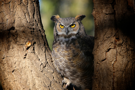 Great Horned owl sitting in tree Stock Photo
