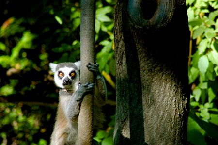 Ringtailed lemur climbing tree