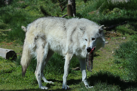 Grey wolf eating trout fish