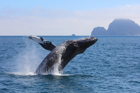 Humpback whale breaching out of water in Kenai Fjords National park Alaska