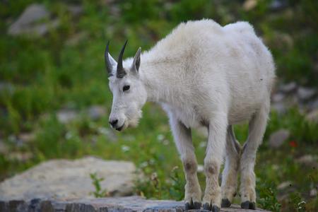 Mountain Goat on wall Logan Pass Glacier National Park Montana