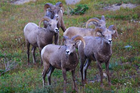 Group of Rocky Mountain Ram Big Horn Sheep on Logan Pass Glacier National Park
