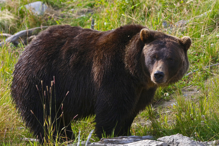 Large grizzly bear in Alaska green meadow