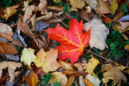 Red Maple Leaf on ground and brilliant fall color