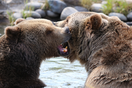 Two grizzly bears playing in water Zdjęcie Seryjne