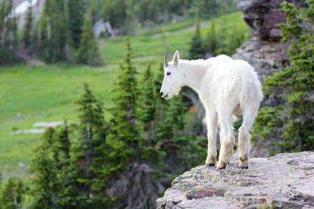 Mountain Goat on ledge in Glacier National Park
