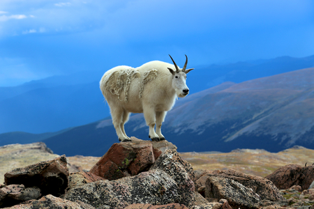 Single mountain goat alone and standing on a rock with blue sky