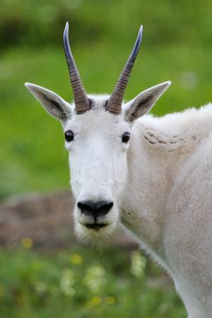 Mountain goat vertical closeup single