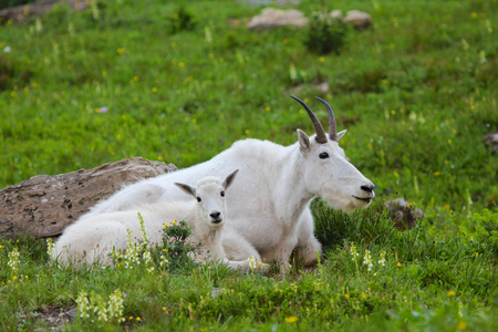 Two mountain goats horizontal profile mother and kid