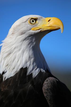 Bald eagle single vertical closeup Zdjęcie Seryjne