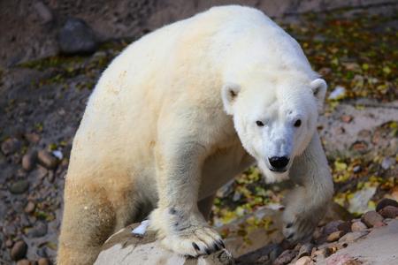 Polar Bear standing on rock