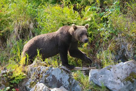 Brown girzzly bear in Big River Lakes Lake Clark National Park Alaska