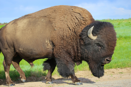 American buffalo bison close up