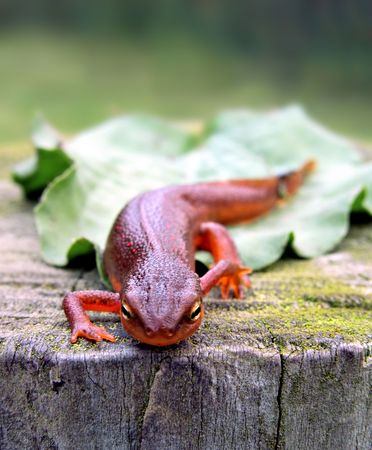 Red-Spotted Newt on tree stump photo