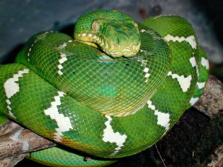 Emerald tree boa also known as a green tree boa photo