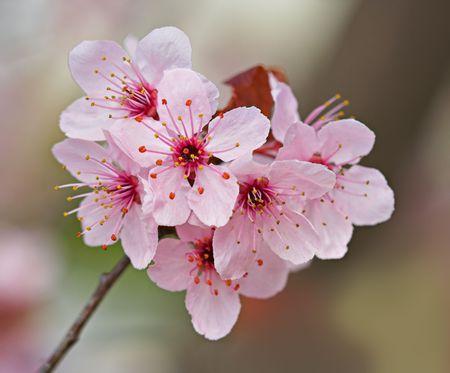 Plum blossoms on a plum tree