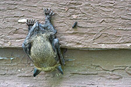 오래 된 집의 측면에 매달려 박쥐