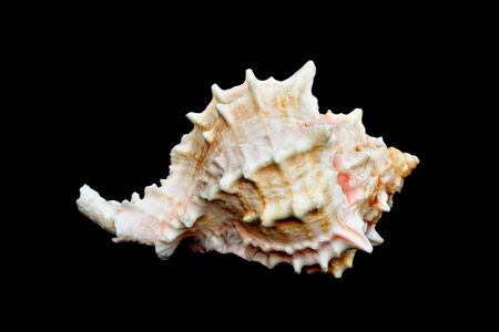An isolated conch seashell over black photo